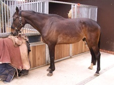 Show Jumpers horse - 8 yrs 17.3 hh Dark Bay - Hertfordshire