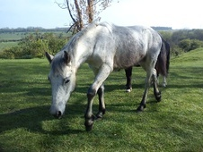 Young Stock  horse - 1 yr 1 mth 14.2 hh Grey - Kent