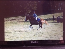 Cobs horse - 6 yrs 9 mths 14.2 hh Chestnut - Cambridgeshire