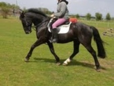 All Rounder horse - 7 yrs 15.0 hh Dark Brown - Kent