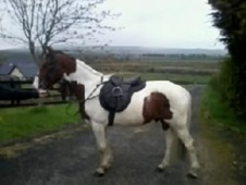 Riding Club Horses/Ponies horse - 4 yrs 15.1 hh Skewbald - Dumfri...