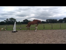 All Rounder horse - 4 yrs 17.0 hh Chestnut - Lincolnshire