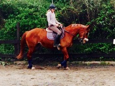 **full loan **16. 1hh warm blood mare