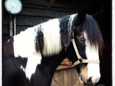 Cobs horse - 3 yrs 10 mths 14.2 hh Coloured - Essex