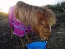 Mountain & Moorland horse - 7 yrs 4 mths 11.0 hh Chestnut - Staff...