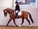 Stallions at Stud horse - 10 yrs 2 mths 16.1 hh Bright Bay - Lancashire
