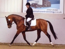 Stallions at Stud horse - 10 yrs 2 mths 16.1 hh Bright Bay - Lanc...