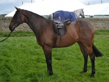 Working Hunter/ WHP horse - 9 yrs 15.0 hh Bay - North Yorkshire