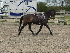 Pony Club Ponies horse - 3 yrs 10 mths 12.3 hh Dark Bay - Lincoln...