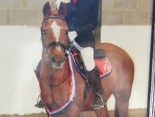 Show Jumpers horse - 14 yrs 6 mths 13.3 hh Chestnut - Kent