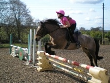 Pony Club Ponies horse - 11 yrs 13.2 hh Strawberry Roan - Notting...