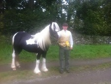 14. 2 4yrs Piebald Cob Mare Lightly Backed Very Quiet