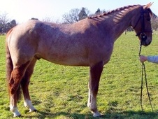 All Rounder horse - 7 yrs 6 mths 15.2 hh Chestnut Roan - Kent