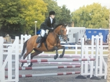 Fantastic All Rounder/pony Club Horse