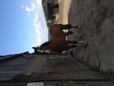 Registered Welsh Sec D 15hh Gelding With Nebo Bloodlines