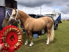 Palomino Welsh D Filly For Sale