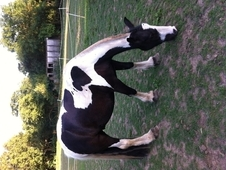 3 Year Old Coloured Cob Great Little Fella Needs Schooling