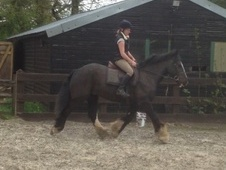 Cobs horse - 7 yrs 15.0 hh Black - West Sussex