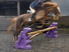 All Rounder horse - 5 yrs 13.2 hh Chestnut - West Sussex