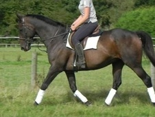All Rounder horse - 13 yrs 10 mths 16.2 hh Bay - West Sussex