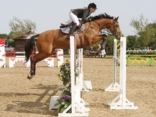 Show Jumpers horse - 6 yrs 16.0 hh Bay - West Midlands