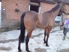 7 Year Old Mare Point/Hunt/Jump/Race