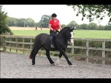 Riding Club Horses/Ponies horse - 5 yrs 8 mths 15.2 hh Dark Brown...