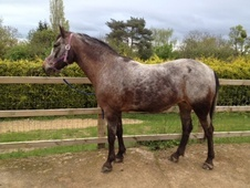 Family horse - 11 yrs 14.1 hh Appaloosa - Worcestershire