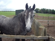 All Rounder horse - 5 yrs 15.3 hh Iron Grey - Berwickshire