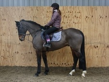 All Rounder horse - 10 yrs 15.2 hh Bay - County Durham