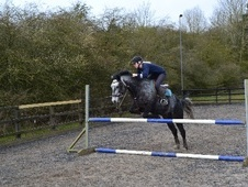 All Rounder horse - 4 yrs 14.1 hh Steel Grey - Cheshire