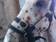 Lovely Appaloosa X Paint Horse Gelding For Sale!!