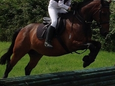 14. 2 Irish X All Rounder Gelding