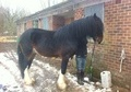 All Rounder horse - 5 yrs 17.2 hh Bay - Staffordshire