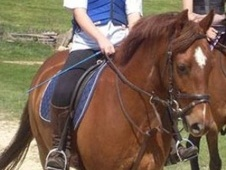 Working Hunter/ WHP horse - 7 yrs 14.1 hh Chestnut - Leicestershire