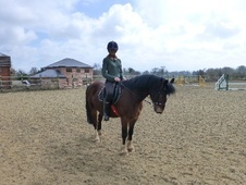 All Rounder horse - 7 yrs 3 mths 13.2 hh Bay - Shropshire