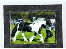 Showing horse - 5 yrs 11 mths 16.0 hh Piebald - Powys