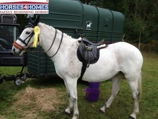 Misty, 15. 2h, Thoroughbred Cross, 16 Years, Mare - Hampshire