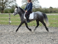 All Rounder horse - 6 yrs 13.2 hh Grey - North Yorkshire
