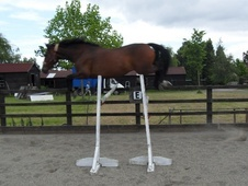 Eventers horse - 11 yrs 11 mths 16.1 hh Dark Bay - Kent