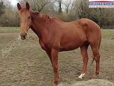 Cookie, 16. 2h, Thoroughbred, 13 years, Gelding - Gloucestershire