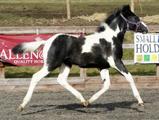Quality coloured sport horse foal