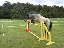 Other horse - 10 yrs 3 mths 14.2 hh Blue Roan - Bedfordshire