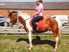14. 2h Skewbald 5 Year Old Gelding