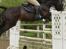 16:1hh Dark Bay Mare, 11 Year Old