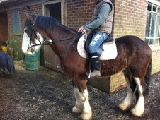 All Rounder horse - 3 yrs 2 mths 16.0 hh Bay Roan - Staffordshire