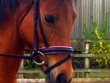 All Rounder horse - 8 yrs 14.2 hh Bright Bay - West Midlands