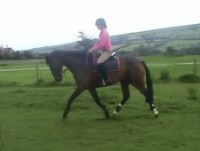 All Rounder horse - 12 yrs 15.3 hh Bay - Shropshire