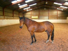 All Rounder horse - 6 yrs 14.2 hh Bay - West Yorkshire