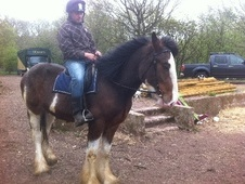 Family horse - 3 yrs 1 mth 16.1 hh Bay Roan - Staffordshire